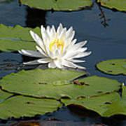 Fragrant White Waterlily - Nymphaea Odorata - Florida Native Poster