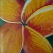 Frangipani Bloom Poster by Robert Bray