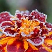 French Marigold Named Durango Red Outlined With Frost Poster