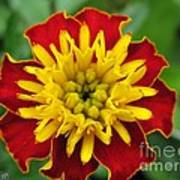 French Marigold Named Solan Poster
