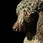 French Poodle Standard Poster by Diana Angstadt