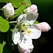 Fresh Fruit Blossoms Poster