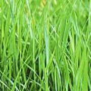 Fresh Grass Poster