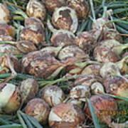 Fresh Harvest Onions Poster