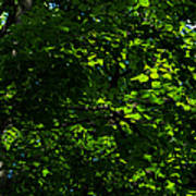 Fresh Linden Tree Foliage - Featured 2 Poster
