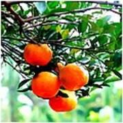 Fresh Orange On Plant Poster