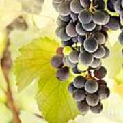 Fresh Ripe Grapes Poster by Mythja  Photography