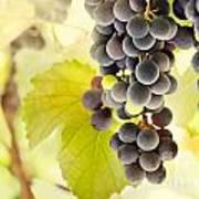 Fresh Ripe Grapes Poster