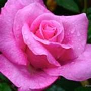 Fresh Sweet Surrender Rose Poster