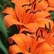 Freshly Showered Tiger Lilys Poster