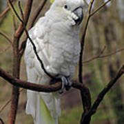Friendly Cockatoo Poster