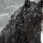 Friesian Snow Poster by Fran J Scott