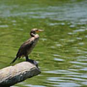 Frigate Bird Watching Estuary Poster by Christine Till