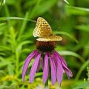 Fritilarie Butturfly On Purple Cone Flower Poster