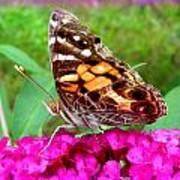 Fritillary Butterfly  Poster by Kim Galluzzo Wozniak