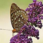 Fritillary Butterfly On Buddleia Poster