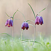Fritillary Morning Poster