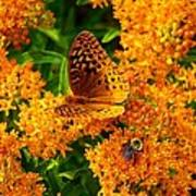 Fritillary On Butterfly Weed Poster