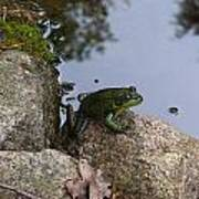 Frog At Edge Of Pond Poster