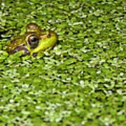 Frog In Duckweed Poster