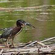 Frog Legs And Green Heron Poster