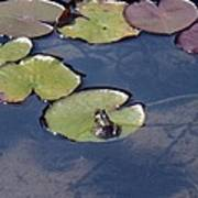 Frog On A Lilypad Poster