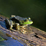 Frog On A Log Poster