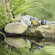 Bull Frog On A Rock Poster