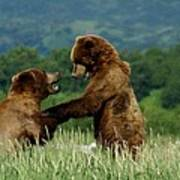 Frolicking Grizzly Bears Poster