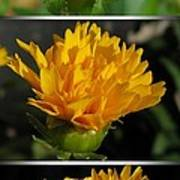 From Bud To Bloom - Coreopsis Named Early Sunrise Poster