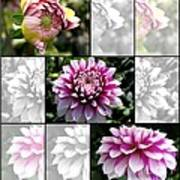 From Bud To Bloom - Dahlia Named Brian Ray Poster