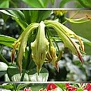 From Bud To Bloom - Gloriosa Named Rothschildiana Poster