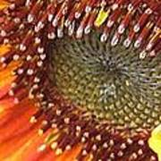 From Bud To Bloom - Sunflower Poster