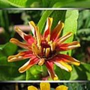 From Bud To Bloom - Zinnia Poster