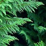 Fronds Of The Leyland Cypress Poster