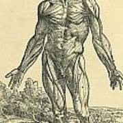 Front Of Male Human Body.anatomical Poster