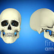Front View And Side View Of Human Skull Poster by Stocktrek Images