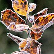 Frost Coated Poster