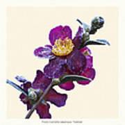 Frost On Camellia Sasanqua 'yuletide' Poster by Saxon Holt