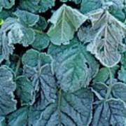 Frost On Francoa Sonchifolia Poster