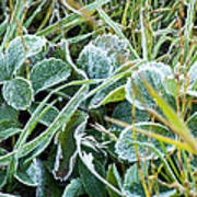 Frost On Strawberry Leaves Poster