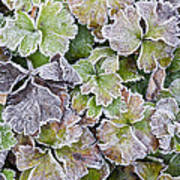 Frost On Waldsteinia Leaves. Poster