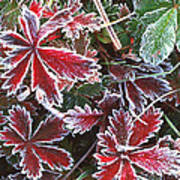 Frost On Wild Strawberry Poster