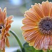 Frosted Gerberas Poster