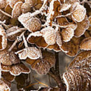Frosted Hydrangea Poster
