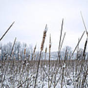 Frosty Cattails Poster