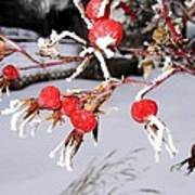 Frosty Rosehips Poster