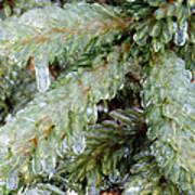 Frozen Boughs Poster