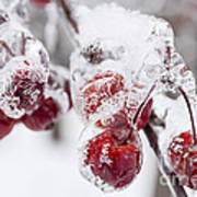 Frozen Crab Apples On Snowy Branch Poster