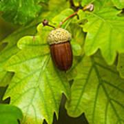 Fruit Of An Oak Tree Ripe In Autumn Poster